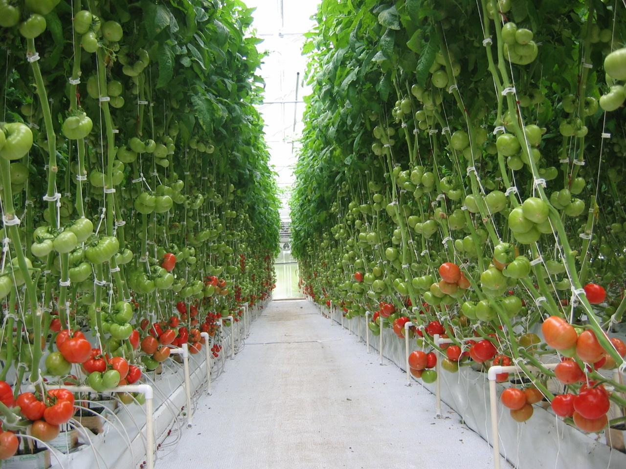 Выращивание томатов в теплице зимой 93